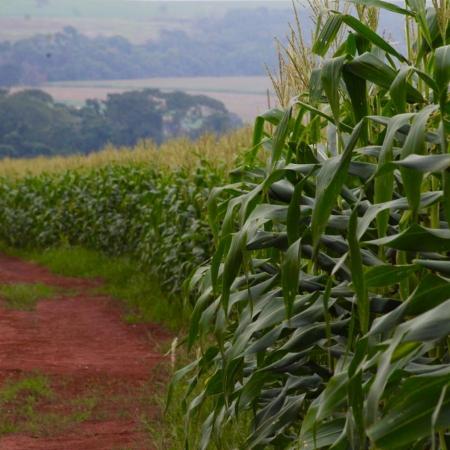 Milho em Rio Verde (GO). Envio de Alex Zamonaro