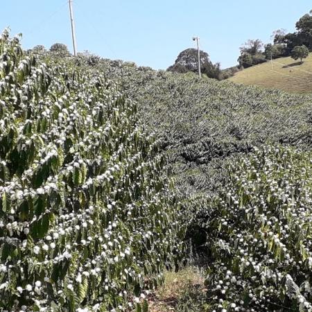 Florada do café em Patrocínio (MG) - Fotos de Danilo Henrique de Farias