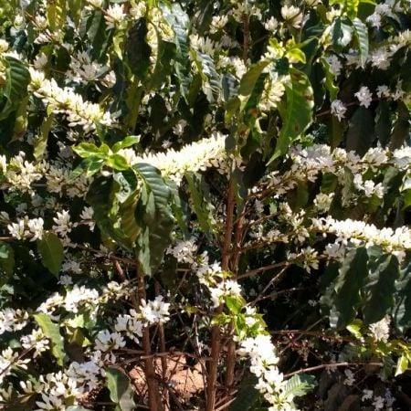 Florada do café em Ouro Fino (MG) - Foto: Gilmar Lobo