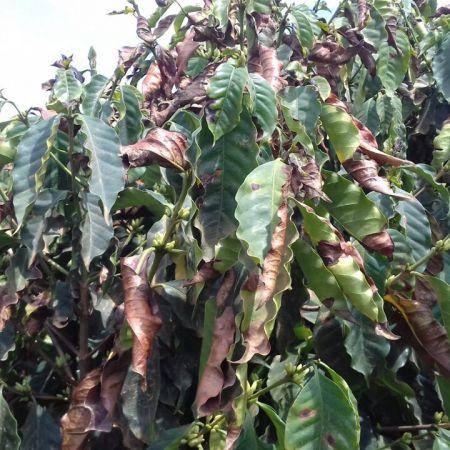 Florada do café secando na região da Zona da Mata, em Minas Gerais - Foto: Ubiratan Barros