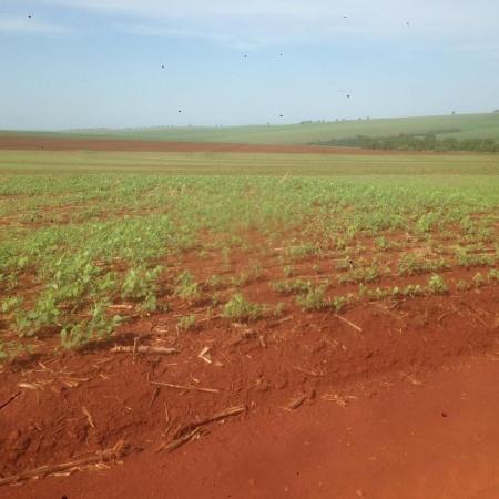 Lavouras de soja sem chuvas no município de Doutor Camargo (PR) - Foto: Ildefonso Ausec