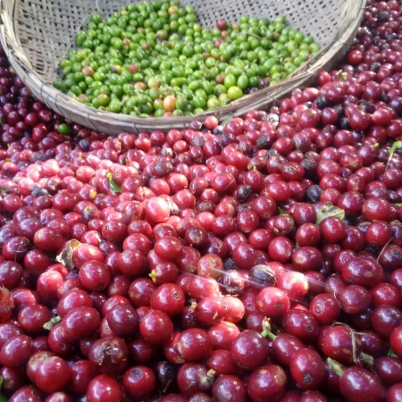 Produção de cafés especiais Itarana/ES - Giovani César