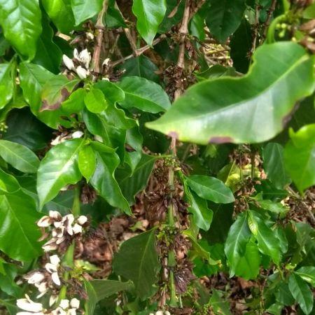 Florada do café secando em Bom Jesus da Penha (MG) - Foto: Alexandre Marioti