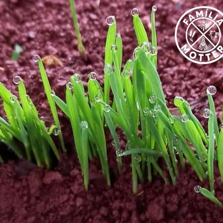 Chuva sobre teste de germinação de trigo em Mbaracayu no Paraguay - Valdir Motter
