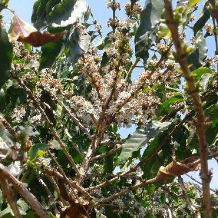 Florada de café arábica em Bom Jesus da Penha (MG) - Foto: Maikon Negrão