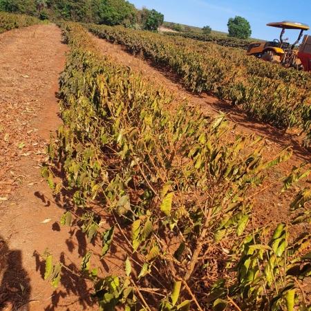Café sofre com a seca em Ibiraci-MG