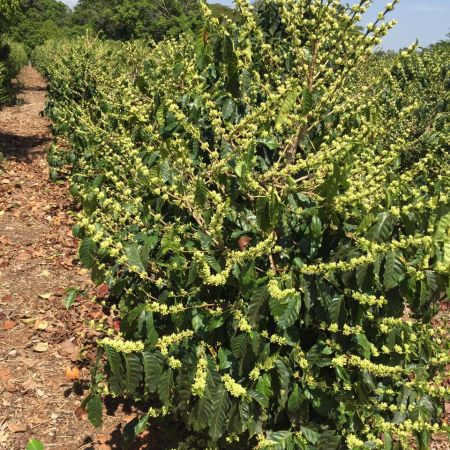 Florada pronta para abrir em Minas Gerais - Reprodução/Redes Sociais