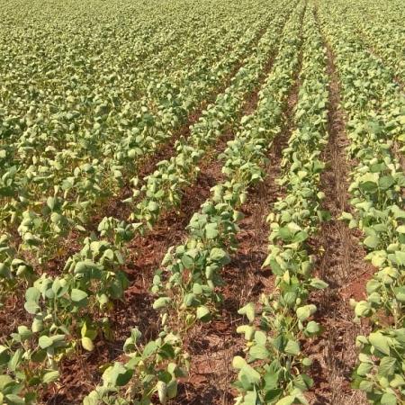 Lavouras de soja, com falta de chuva, em Los Cedrales - Paraguay. Envio de Pedro Locatelli