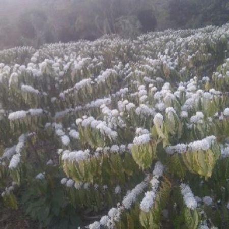 Florada do café conilon em Alta Floresta DOeste, Rondônia - Foto: Betânia Alves