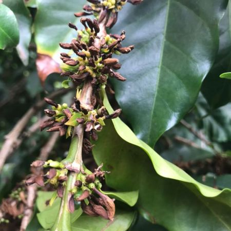 Florada do café secando na Região do Alto Paranaíba, em Minas Gerais - Foto: Reprodução/Redes Sociais