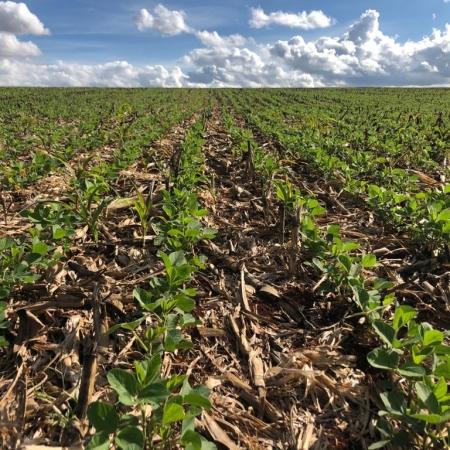 Soja na resteva do milho, safrinha de soja 2021 em Pontão (RS) - Produtor Rural Juliano de Souza Carmo