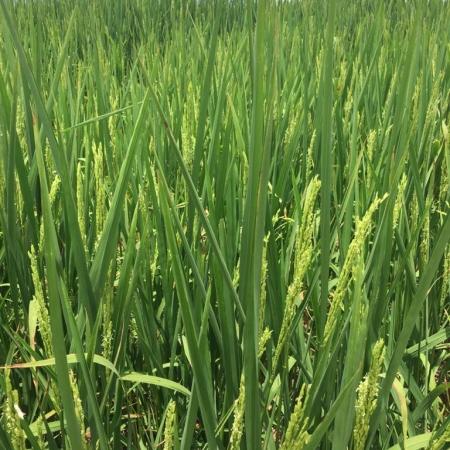 Inicio dos tratos culturais na lavoura de arroz em Campos dos Gerais de Balsas (MA) - Aparecida Belinato