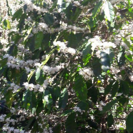 Florada do café em Minas Gerais - Foto: Reprodução/Redes Sociais