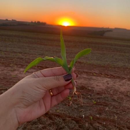 Pôr-do-sol lindo sob a lavoura em Iporã (PR) - Silvane Calgaro