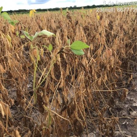 Lavouras de soja afetadas pela seca na Bahia - Foto: Reprodução/Redes sociais