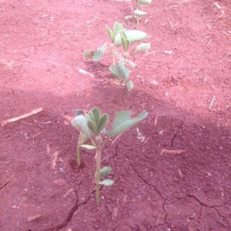 lavouras de soja na região de Doutor Camargo/PR - Foto: Ildefonso Ausec