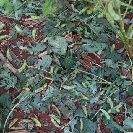Queda de granizo em Janiópolis/PR