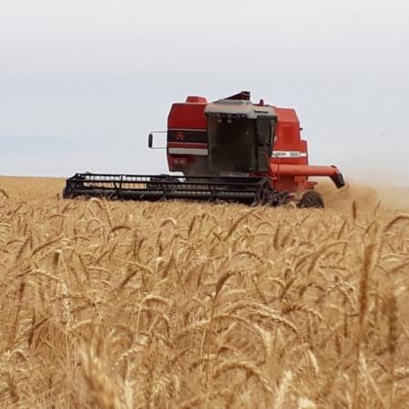 Colheita de trigo em Campinas do Sul/RS Foto enviada por André De Maman