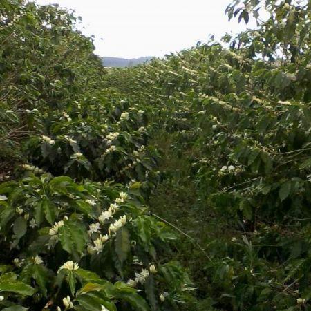 Florada do café em Apucarana (PR) - Foto: Reprodução/Redes Sociais