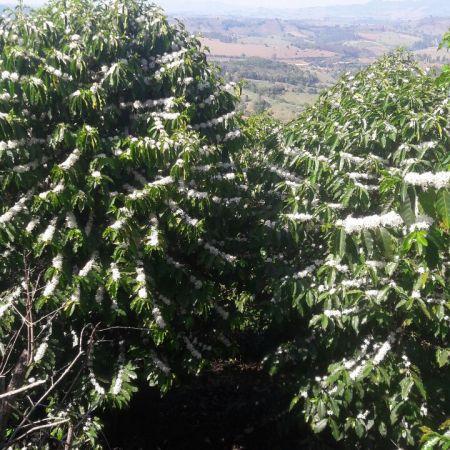 Florada do café em Botelhos (MG) - Foto: Reprodução/Redes Sociais