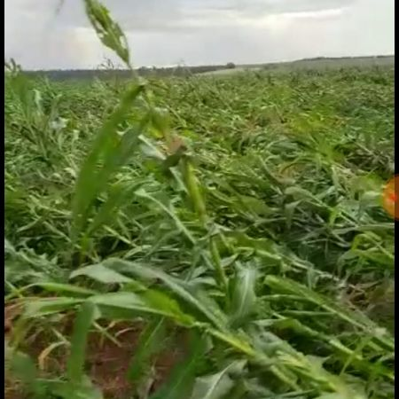 Chuvas e ventos fortes causam estragos em plantações de milho no Paraná - Foto: Reprodução/Redes Sociais