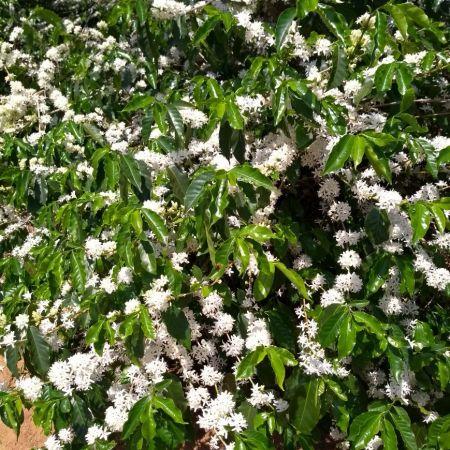 Florada do café em Ouro Fino (MG) - Foto: Reprodução/Redes Sociais