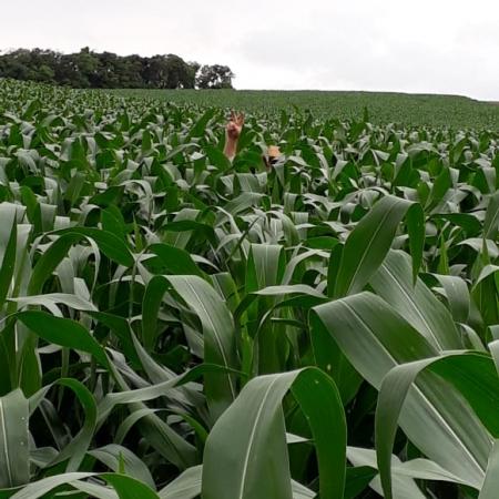 Lavoura de milho no município de Ibiaçá (RS) Envio do produtor Elton Defaveri