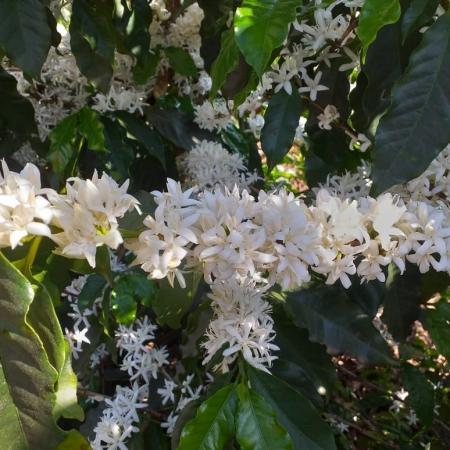 Florada do café em Alterosa (MG). Foto de Vera Helena Terra