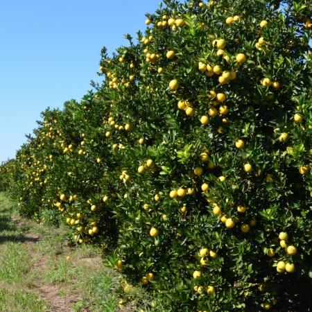 Lavouras de laranja são de autoria do Henrique Santos para o Fundecitrus