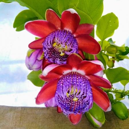 As belíssimas flores do maracujá em sítio no município de Itaiópolis (SC) - Paulo Marcelo Adamek