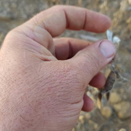 Soja 2018/19 sofrendo com a seca em MS