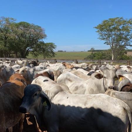 Semi confinamento na Fazenda Canoas em José Bonifácio (SP) - Antônio Rogério