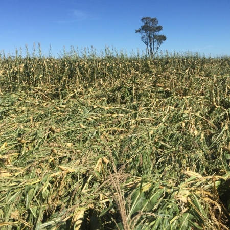 Lavouras de milho na região de Goioerê/PR | Foto: Sergio Fortis