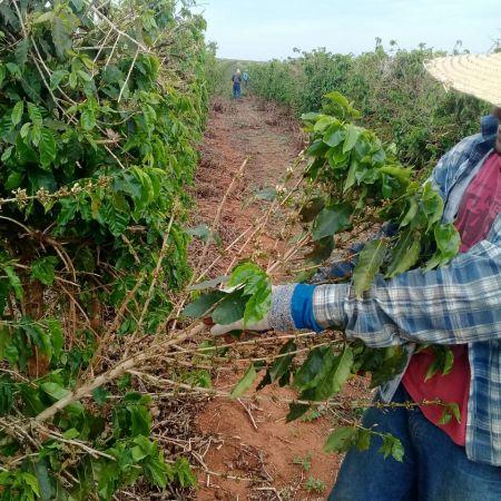 Florada do café secando em Minas Gerais - Foto: Reprodução/Redes Sociais