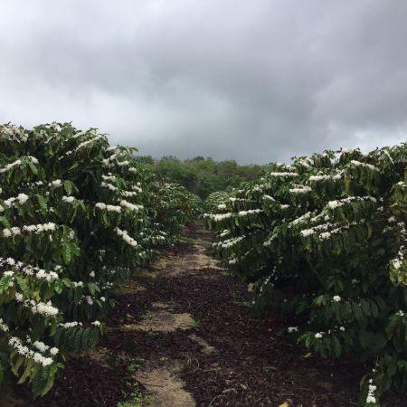 Café em flor do produtor Marcio Freire, de Sooretama (ES). Envio de Aline Dias