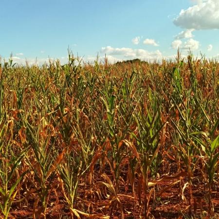 Milho morrendo na com a seca em Iriai de Minas (MG) - Anacreonte Seibt