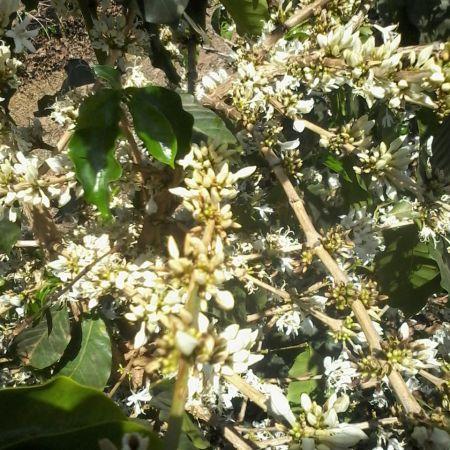 Florada do café em Nova Resende (MG) - Foto: Reprodução/Redes Sociais