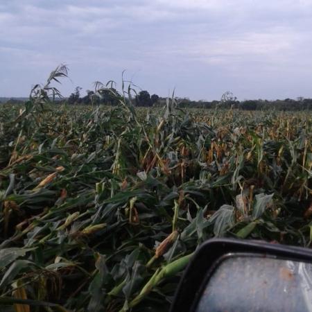 Lavouras de milho 2ª safra são afetadas pelas fortes chuvas no Paraguai - Foto: Reprodução/Redes sociais