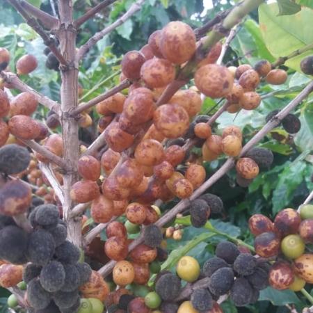 Lavouras de café em Nova Resende (MG). Enviado por Pedro Paulo