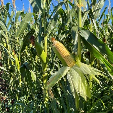 Milho safrinha em consórcio com brachiaria 2021 na Fazenda da Pinhal em Ubiratã (PR) - Geremias Mendes