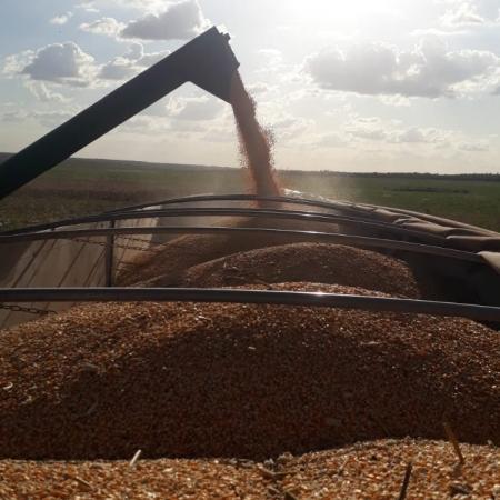 Colheita de milho no município de Governador Luiz Rocha-MA, por Daniela Giareta Durante