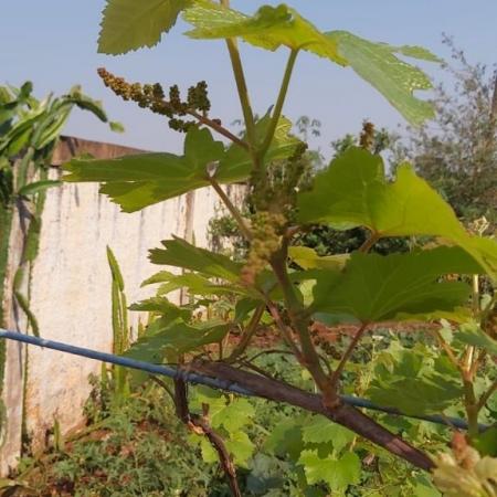 Uva violeta com bons cachos, no município de Aral Moreira (MS), Envio produtor e Engenheiro Agrônomo Erval Sajovic Pereira