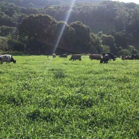 Capim coracana ANpg 209 - Foto: Divulgação/Agro Norte Pesquisa e sementes