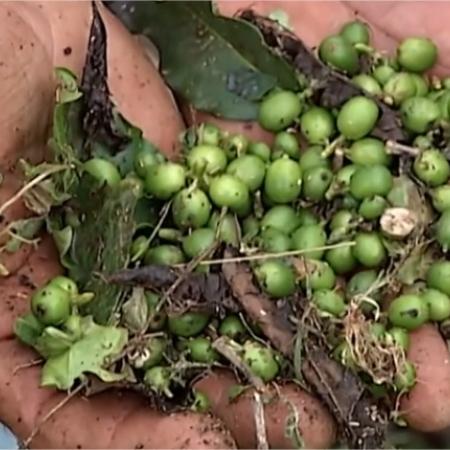Danos em lavouras de café com chuva de granizo na região do Alto Paranaíba - Foto: Reprodução/G1