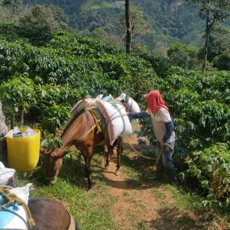 Situação das lavouras do Café na Colômbia - Fonte: Juan David Cardona