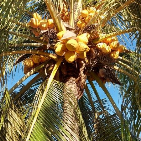 Produção de coco em alta na Fazenda União no munícipio de Bom Jesus (PI) - Abel Pieta