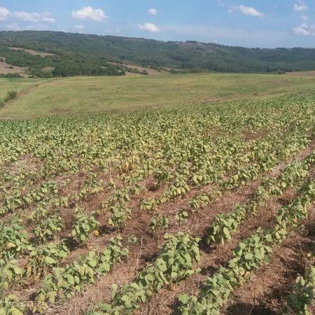 Lavouras de soja afetadas pela seca em Canguçu (RS) - Foto: Reprodução/Redes Sociais