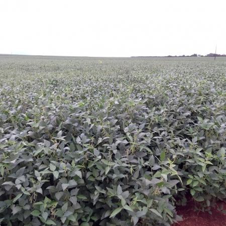 Lavoura de soja no município de Itaipulândia Pr. Envio de Ramil J. dos Santos