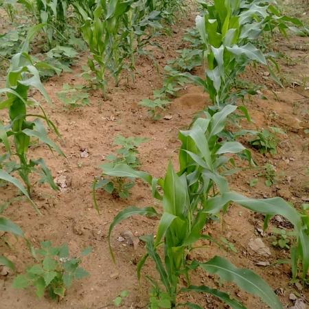 Chuva ajudando na plantação de milho na Paraíba - Xirlano dos Santos