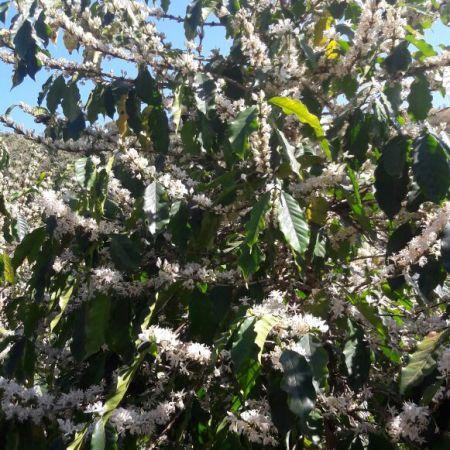 Florada do café em Monte Santo (BA) - Foto: Reprodução/Redes Sociais